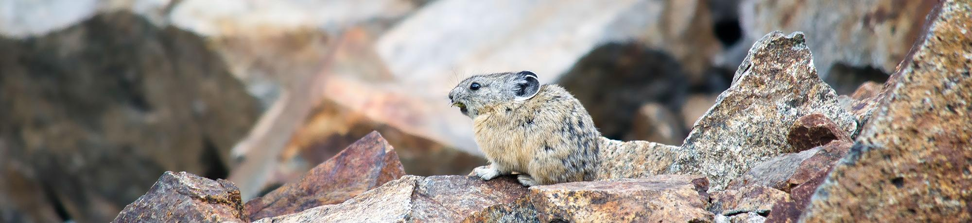 pika in Lake Tahoe